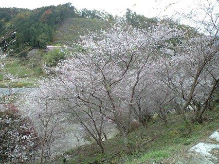 四季桜4.JPG