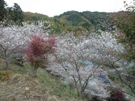 四季桜5.JPG