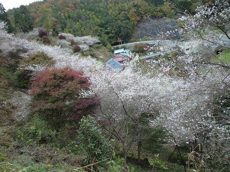 四季桜6.JPG