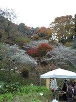 四季桜8.JPG